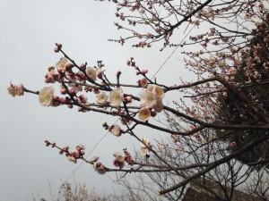 毎年2月11日は梅安天満宮の梅まつりです。