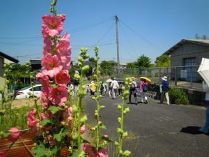 たちあおいの花が輝く梅雨の前の初夏の陽気