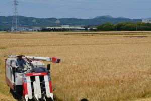 トラクターが麦の穂を刈りはじめました