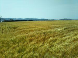 Wheat of Nakama-shi grew big.